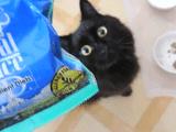 本物のグリーンピースは嫌いだけど、カリカリのグリーンピースは大好きな猫のしおちゃん