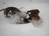 雪に大はしゃぎして頭からダイブして遊ぶチビダックスちゃんを、極上のスローモーション映像でお届け