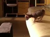 勇気を出してジャンプするものの、見事に失敗するチワワの子犬