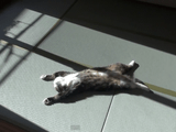 だら~ん。気持ち良さそうに畳の上で日向ぼっこする猫のまるちゃん