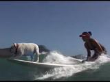 サーフボードの先っちょで踏ん張って、波乗りを楽しむブルドッグ