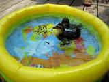 見ているだけで涼しい気分!子供用のプールで嬉しそうに水浴びをするマガモの赤ちゃん