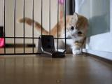 萌え保証!玄関の防衛ラインを突破するマンチカン猫