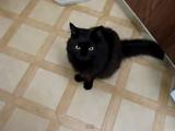 おやつのカツオが早く食べたくてイライラする猫のしおちゃんと、お行儀良くお座りして待つ猫のティーちゃん