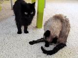 しゃべる猫しおちゃんと、その相方ティーちゃんの魅力をギュっと凝縮した素敵なショートムービー