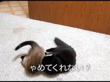同居猫のティアちゃんにプロレスで一方的に攻められて「ゃめてくれない?」「むかつくな~ぁ」って言いながら応戦する猫のしおちゃん