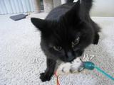 新しいおもちゃに大興奮してハァハァする猫のしおちゃん