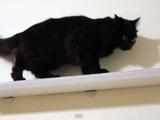飼い主さんこだわりの自家製「キャットウォーク」の解説に付き合わされる猫のしおちゃん