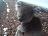 野生のコアラがあらわれた!