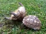 ひっくり返った仲間を助ける優しいリクガメ