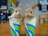 紙コップに入ってクンカクンカする子ウサギ2匹