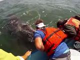 クジラの親子が大サービス! 人間のボートに手で触れる距離まで大接近