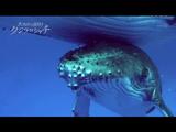 NHKスペシャル「大海原の決闘!クジラ対シャチ」